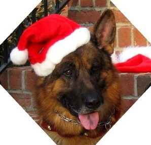 Dec 2010 German Shepherd
