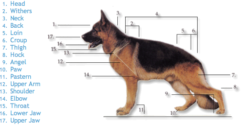 German Shepherd Dog (GSD) Breed Standard
