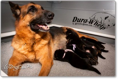 Puppies at 16 days old with Mom