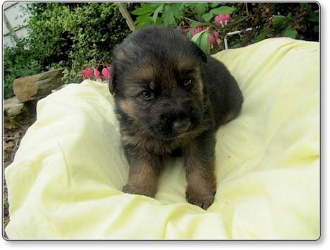 Puppies at 3 weeks 1