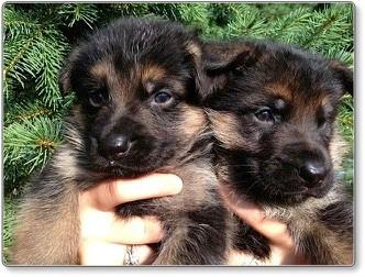 Puppies at 5 weeks old 4