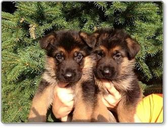 Puppies at 5 weeks old