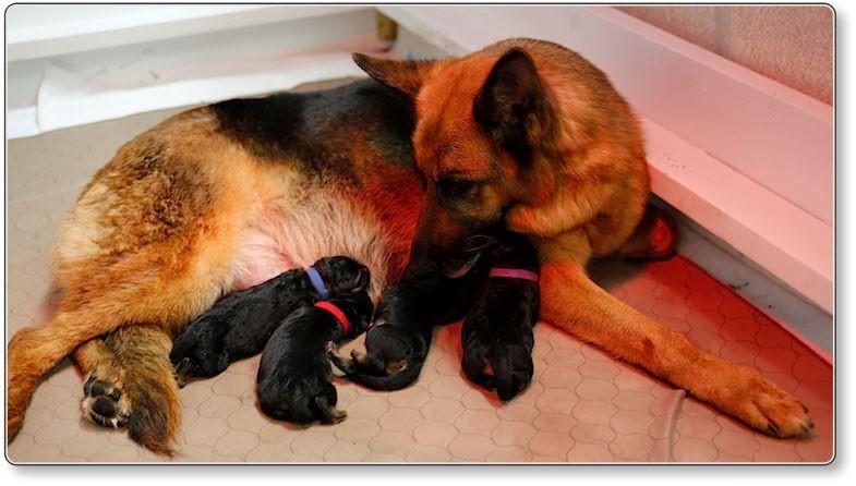 Puppies at 6 5 weeks old